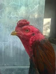 cara cepat mengenali karakter tarung seekor ayam petarung