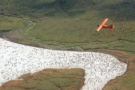 state pushing feds to allow western arctic caribou hunt alaska