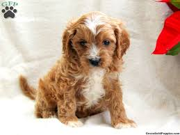 puppies for sale pa copper cavapoo puppy for sale from gordonville pa puppies