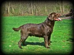 afghan hound and labrador retriever dogs for sale puppies in pennsylvania pa