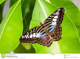 blue tiger striped butterfly stock photo image of white