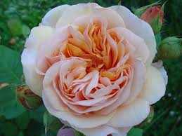 rose d a charles austin winter delivery u2013 cedar nursery