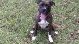 american pit bull terrier brindle my brindle pitbull puppy youtube