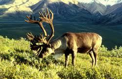 commensalism in the alpine tundra alpine tundra