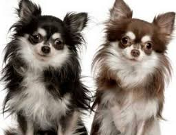 long hair chihuahua hair growth what to expect 24 best hair style for chihuahua dog images on pinterest