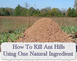 how to kill ant hills using one natural ingredient ant hills in
