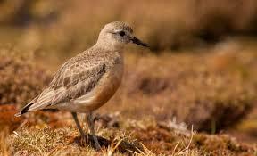 nz dotterel tuturiwhatu new zealand sea and shore birds