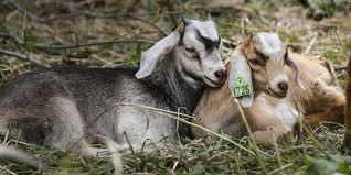 Get Your Goat Rentals by We U0027re Not Kidding Around Meet Iowa U0027s Cutest Weed Eater