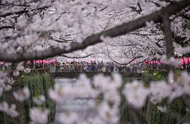 Snow Falls In Tokyo For The First Time In November Since 1962 by Cherry Blossom Japanese Culture Inside Japan Tours