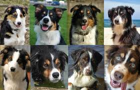 australian shepherd youtube herding uncanny minor differences