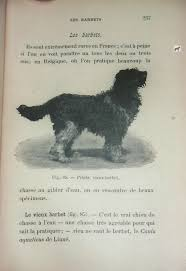 toilettage de l affenpinscher barbet chien deau barbets en bresse france