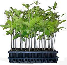 why buy tree seedlings that are grown in an air pruning container