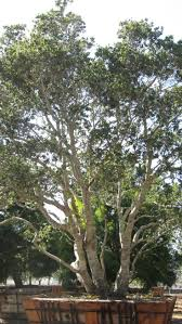Interior Live Oak 141 Best Plants That Grow Under The Eucalyptus Trees Images On