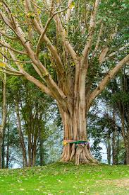 bodhi tree with colorful cloth around stock photography image