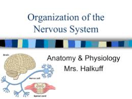 Anatomy And Physiology Nervous System Study Guide The Nervous System
