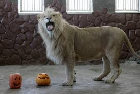 almaz a three year old male white african lion plays with a pumpkin
