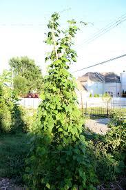 growing black beans wild gourd farm
