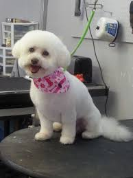 bichon frise puppy cut bishop frise puppy cut groomed by cathy mckenzie yelp