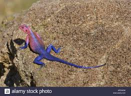 african rainbow lizard stock photo royalty free image 15759348