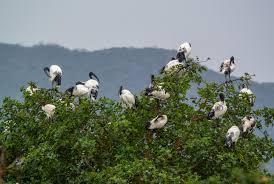 sacred ibis threskiornis aethiopicus a tree of
