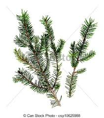 pictures of fir aka tree needles twigs isolated