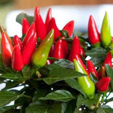 salsa yellow ornamental pepper