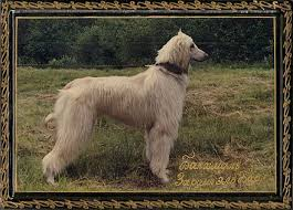 afghan hound giving birth bakhmull wikiwand