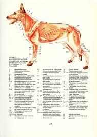 Internal Dog Anatomy Canine Internal Organs Deep Dog Anatomy Poster At Best Anatomy Learn