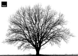 oak tree quercus petraea in winter isolated black and white