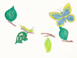 butterfly metamorphosis including egg caterpillar cocoon and