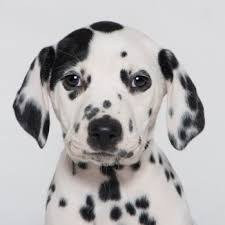 dalmatian breed information characteristics u0026 heath problems