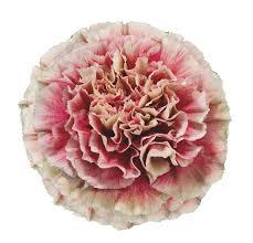 merletto crimson carnations qty 150 new york flower guy
