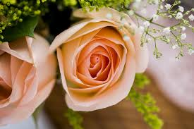Peach Roses What Type Of Rose Should You Give Your Valentine U2013 Shoprite