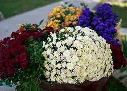 Picture Of Mums The Flowers - mums pansies u0026 more late summer u0026 fall flowers flower