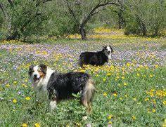 australian shepherd lovers sky blue ranch bowdie blue merle australian shepherd australian
