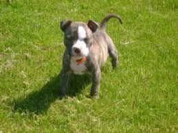 Seeking Pitbull American Pit Bull Terrier Puppies In Michigan