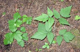 plants native to new mexico are these plants poison oak or not poison oak poison oak