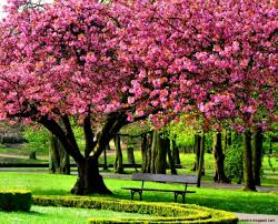 wallpaper desktop pink cherry blossom tree 1920 x 1080 268 kb jpeg