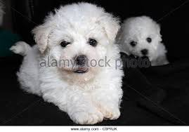 bichon frise 17 years old bichon frise stock photos u0026 bichon frise stock images alamy