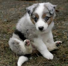 miniature australian shepherd 8 weeks australian shepherd puppies for sale 8 weeks old hartbeespoort