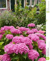 Plants Blooming A Garden With Pink Blooming Hortensia Plants Royalty Free Stock