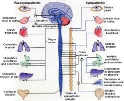 autonomic nervous system function definition u0026 divisions video