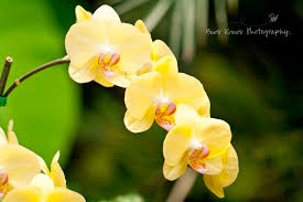yellow orchids eleletsitz types of yellow orchids images