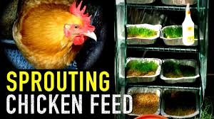 organic chicken feed sprouted grains for animal fodder youtube