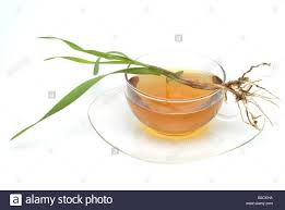 medicinal tea made of common couch couch grass twitch grass quick