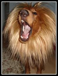 Lion Halloween Costume 25 Dog Lion Costume Ideas Dog Lion Mane