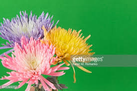 yellow pink purple pastel colored mums flowers with green