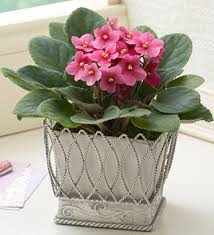 african violet plants how to grow violet care african violet