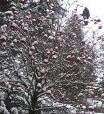wild turkeys in tree in winter for your viewing pleasure