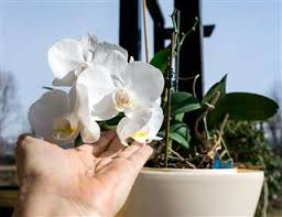 orchids care tips to take care of the majestic blue mystique orchids